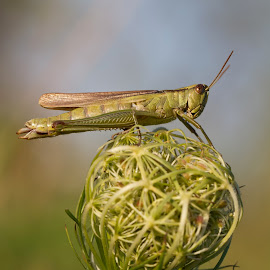 Grashüpfer by Helmut Gloor - Animals Insects & Spiders ( canon, insecta, macro, grashüpfer, macro photography, schafisheim, insects, grasshopper, insekten )