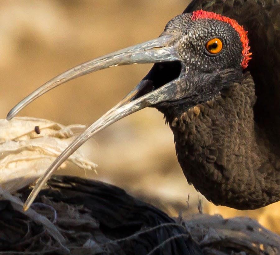 Catch by Abhishek Singh - Novices Only Wildlife ( #rednapedibis #jorbeer #bikaner )