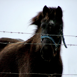 Blue Bridle Behind Barbed Wire by Julie Dant - Animals Horses ( bob wire, winter coat, winter, dark horse, bridle, blue, horse, barbed wire, blaze,  )