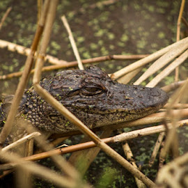 Chilling by Barry Blaisdell - Animals Reptiles ( water, wild, nature, crocodile, reptile, aligator )