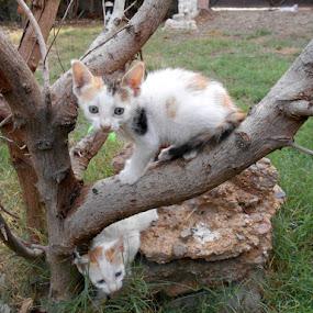 by Ghazala .S. Mujtaba - Animals - Cats Kittens (  )