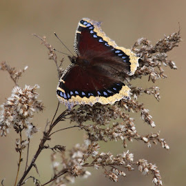 Mourning Cloak Butterfly by Cora Westermann - Animals Insects & Spiders ( mourning cloak butterfly, butterfly, nature,  )