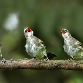 trio by Yan Abimanyu - Animals Birds