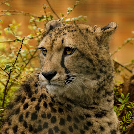 Cheetah by Rachel Williams - Animals Lions, Tigers & Big Cats (  )