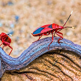 Red Bug by Ikhwan Ameer - Animals Insects & Spiders ( fire bug, red, red bug, bug, contest )