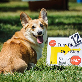 Rally Time by Howie George - Animals - Dogs Portraits ( rally, sitting, green, corgi, outdoors, brown, dog, competition )