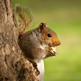 Londoner squirrel by Gianluca Presto - Animals Other Mammals ( sweet, londoner squirrel, tree, little squirrel, eating, nice, little, eat, squirrel, animal )