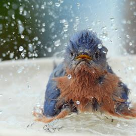 Splish splash by Steven Liffmann - Animals Birds ( water, bluebird, birdbath, splash, bath, wildlife, backyard )