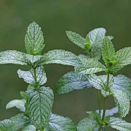 Mint by Dipali S - Nature Up Close Gardens & Produce ( raw, salad, condiment, oriental, bright, spice, plants, farmland, leaf, botanical, spring, crop, chinese, farm, nature, fresh, foliage, cultivation, closeup, lush, bed, green, mint, flavor, peppermint, morning, field, organic, spicery, herb, food, background, grow, outdoor, healthy, gardening, herbal, vegetable, garden )