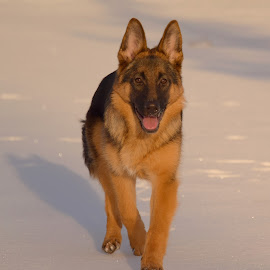 Schäfer on ice  by Kristin Smestad - Animals - Dogs Running ( winter, puppie, dog, young, running, schafer, sun )