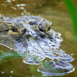 Gator by A.j. Amos - Animals Reptiles ( nature, alligator, wildlife, reptile, close up )