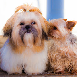 You smell GREAT! by Anita Atta - Animals - Dogs Puppies ( yorkshire terrier, nuzzle, purebred, puppy, shih tzu )