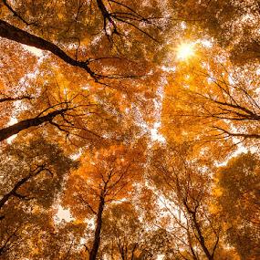 Peeking Through by Hamish Carpenter - Nature Up Close Trees & Bushes ( orange, michigan, nature, tree, upnorth, fall, star, leaves, sun, traverse city,  )