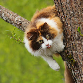 by Jane Bjerkli - Animals - Cats Portraits ( expression, playing, climbing, cat, tree, tricolor, pet, summer, fun, portrait, animal,  )