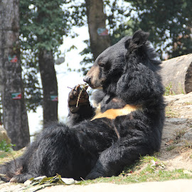 Bear by Sudip Chatterjee - Animals Other ( bear, wildlife, relaxing, black, animal )