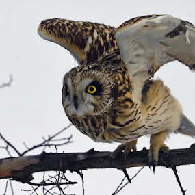 Short-eared Owl by Young Sung Bae - Animals Birds ( tree branch, set, wings, ready, go, short-eared owl )