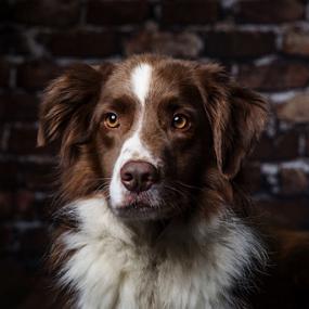 Fucus by 'Monique Smit - Animals - Dogs Portraits ( dog, animal )