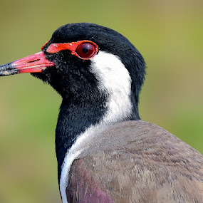 Red Wattled Lapwing (Vanellus Indicus)  by Rahul Chakraborty - Animals Birds (  )