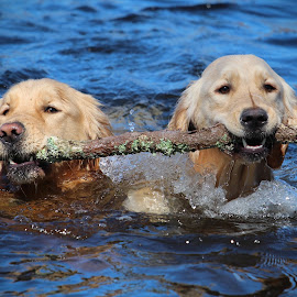Teamwork by Neil Storey - Animals - Dogs Playing
