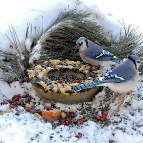 A frozen treat by Carolyn Kernan - Animals Birds (  )