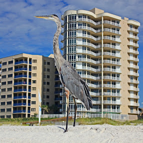 Crane on the Beach by Daryl Peck - Novices Only Wildlife ( canon, bird, novice, gulf, alabama, beach, crane, feather )