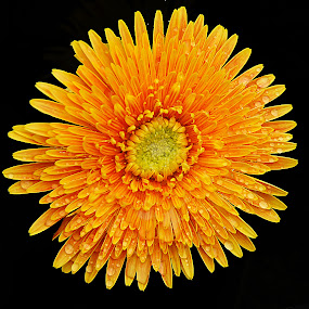 Gerbera Daisy by Dee Haun - Flowers Single Flower ( black background, orange, single flower, gerbera daisy, 2016, tamron 15-250, vt5113ce1, sony 55v, flowers,  )