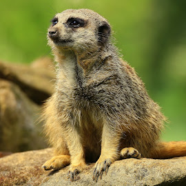 Meerkat by Ralph Harvey - Animals Other Mammals ( wildlife, meerkat, ralph harvey, marwell zoo, animal )