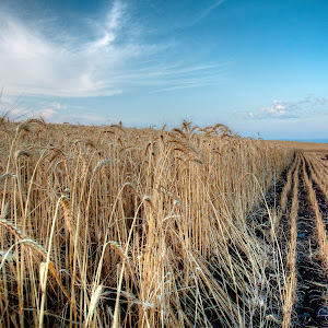 Arbel_Wheat_Field_1.jpg