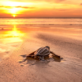 New Born by Doddy Surya - Animals Sea Creatures ( sea creature, sunset, sunsets, sea, turtles )