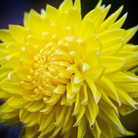 Dahlie Akita   by Winfried Rusch - Flowers Single Flower ( herbst, deutschland, reisen, blüte, dahlie, blume, gelb, dahlie akita - gelb, legden,  )