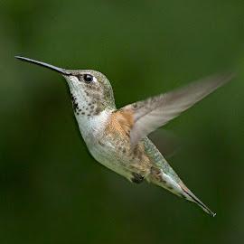 Rufous Hummingbird by Sheldon Bilsker - Animals Birds ( bird, flight, nature, hummingbird, animal )