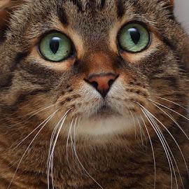 Pretty Girl by Pam Mullins - Animals - Cats Portraits ( cat, green, fuzzy, pet, scottish fold, cuddlie, feline, tabby, friend, mammal, eyes, soft )