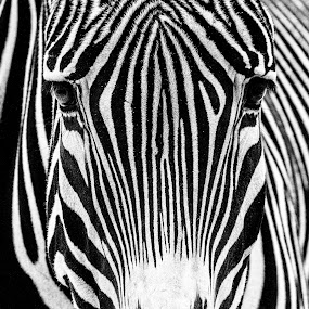 Zebra by Nigel Bullers - Animals Other Mammals ( zebra, stripes )