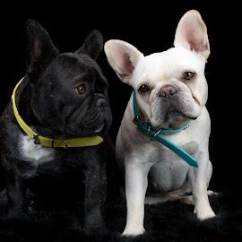 I am So In Love by Carolina Silva - Animals - Dogs Portraits ( frenchie, love, family, french bulldog, couple )
