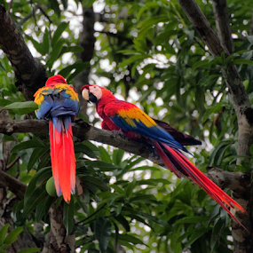 Dos Macaws by Clyde Smith - Animals Birds