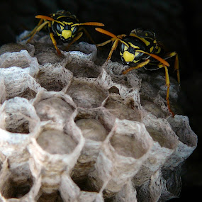 The Bouncers by Even Steven - Nature Up Close Hives & Nests ( hive, home, wasp, bee, guard, mean )