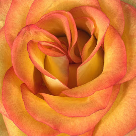 Peachy Rose Petals by Millieanne T - Flowers Single Flower