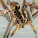 Hogna wolf spider (male)