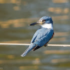 Ringed Kingfisher