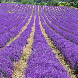 Lavender Field by Simon Shee - Landscapes Prairies, Meadows & Fields ( field, provence, france, lavender, flower )