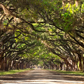 wormsloe by Olga Charny - Nature Up Close Trees & Bushes ( wormsloe )