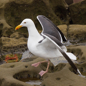Sea Gull by Mi Mundo - Animals Birds ( sea bird, gull, sea gull )