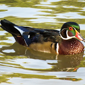 Wood duck by Scott Thomas - Animals Birds ( #landscape, #nature, #wood duck, #waterscape, #duck )