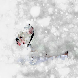 White dog in a snow storm by Bruce Newman - Animals - Dogs Playing