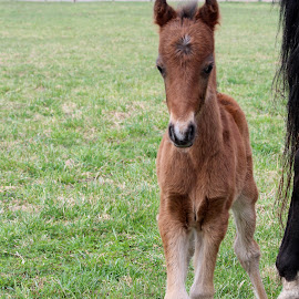 A Future Champion by Maureen Rueffer - Animals Horses ( curious, colt, horse, baby, cute )