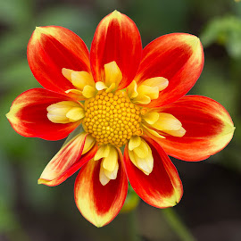 More Red Then Yellow by Janet Marsh - Flowers Single Flower ( red, dahlia, yellow )
