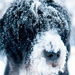Eat ALL the snow! by Ladislav Korenj - Animals - Dogs Portraits ( nikkor 24-70 2.8, snow, dog )