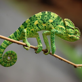 Camelion by Amit Suvera - Animals Reptiles ( colourful, camelion, nature, wildlife, forest, insect, animal )