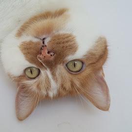 Bathtub King by Janja R Sanja - Animals - Cats Portraits ( cat, cat eyes, ginger, white, spot )