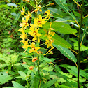 Swamp Candles (Yellow Loosestrife)